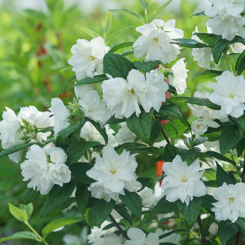 Illuminati Arch® Mock Orange Flowers and foliage
