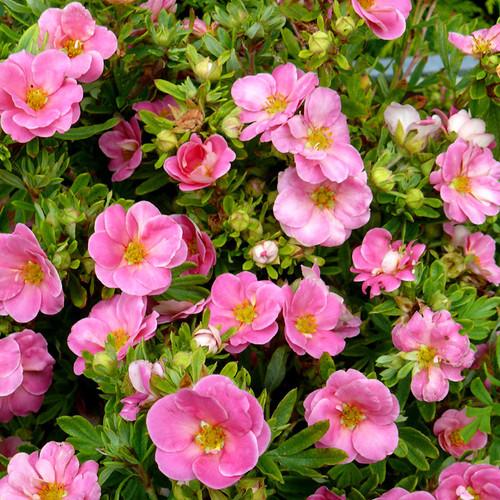 Happy Face® Pink Paradise Potentilla flowers