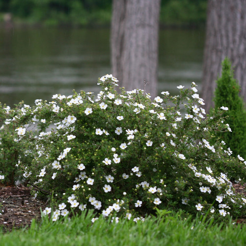 Happy Face® White Potentilla Growing Under Trees 1