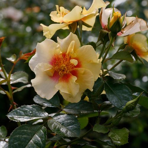 Ringo® Rose flower