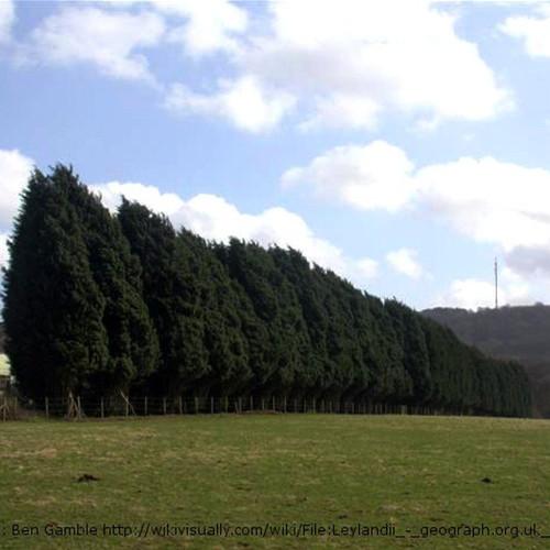 Leyland Cypress Windbreak in Field