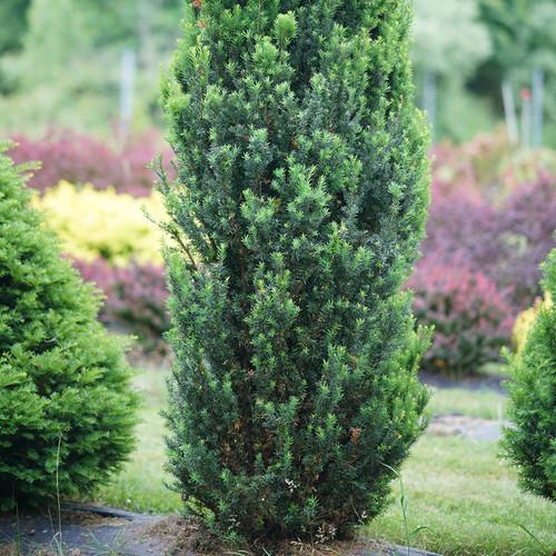 Stonehenge® Yew foliage