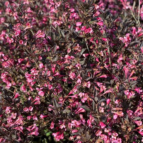 Very Fine Wine™ Weigela flowers and foliage