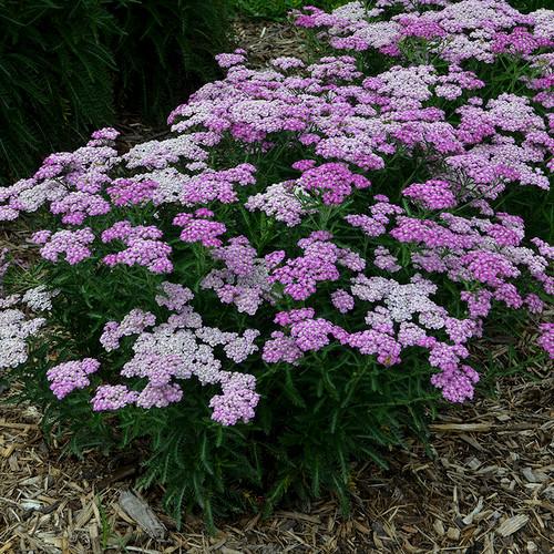 Firefly™ Amethyst Yarrow Plant Blooming in the Garden