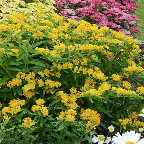 Hello Yellow Butterfly Milkweed Flowers and foliage