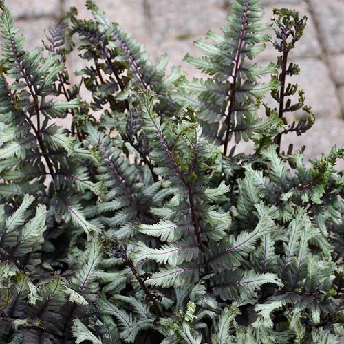 Crested Surf Fern green foliage
