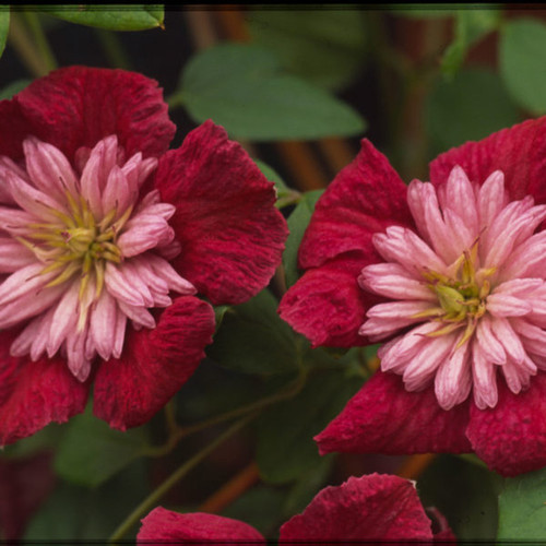 Avante-Garde Clematis Flowers and Foliage