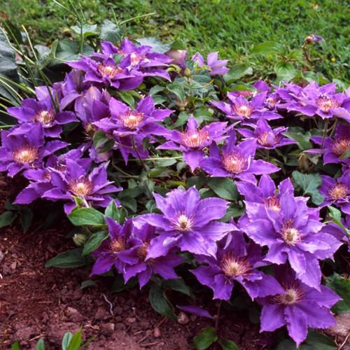Mounding Bijou Clematis Plant Flowering