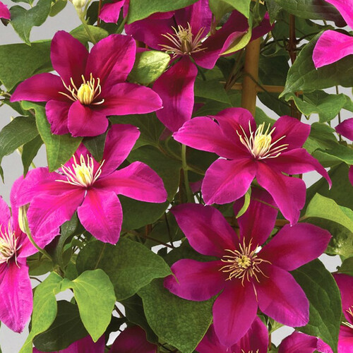 Boulevard® Acropolis Clematis Vine Climbing Trellis and Bloomig in the Sun