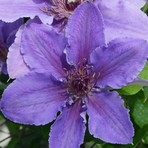 Boulevard® Ines Clematis Flowers