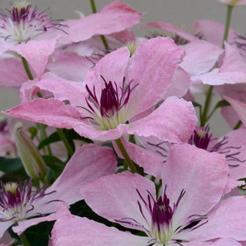 Pink Boulevard Sarah Elizabeth Clematis Flowers
