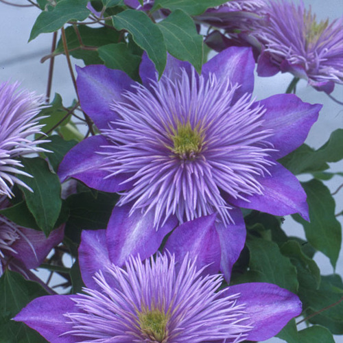 CRYSTAL FOUNTAIN™ Evipo Clematis Vine Flowers and Foliage