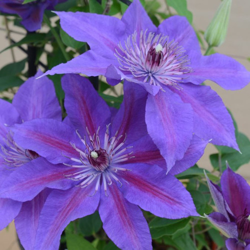 Bue and Purple Boulevard® Edda Clematis Flowers