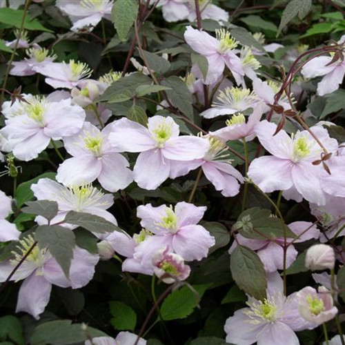 MONTANA MAYLEEN CLEMATIS VINE FLOWERS and FOLIAGE