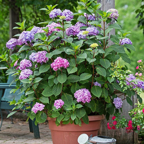 Endless Summer Bloomstruck Hydrangea Cropped
