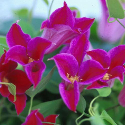 TEXENSIS, PRINCESS DIANA Clematis Blooming
