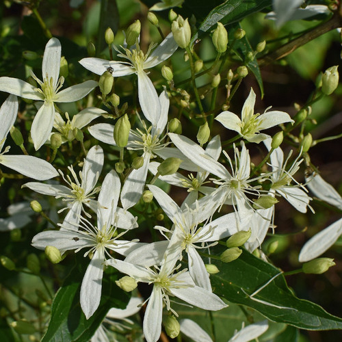 Sweet Autumn Clematis Vine With Fragrant Flowers