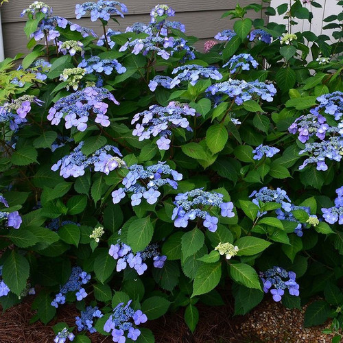 Endless Summer Twist-n-Shout Hydrangea with Blue Flowers Cropped