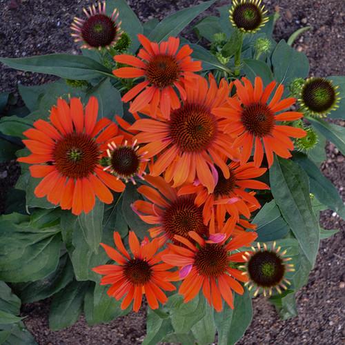 Eye-Catcher™ Atomic Orange Coneflower Flowers Close Up