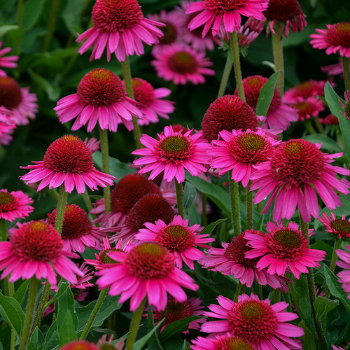 Delicious Candy Coneflower Plants Blooming