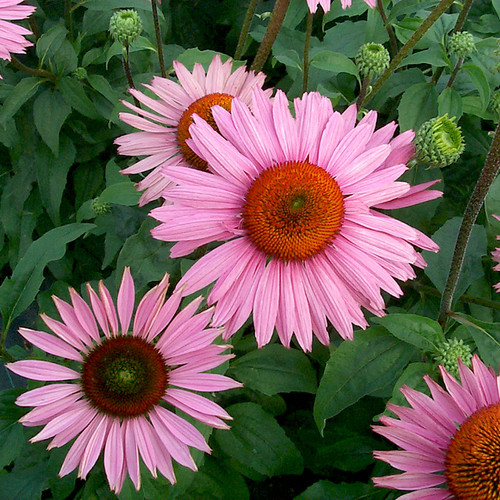 Ruby Giant Coneflower plant blooming