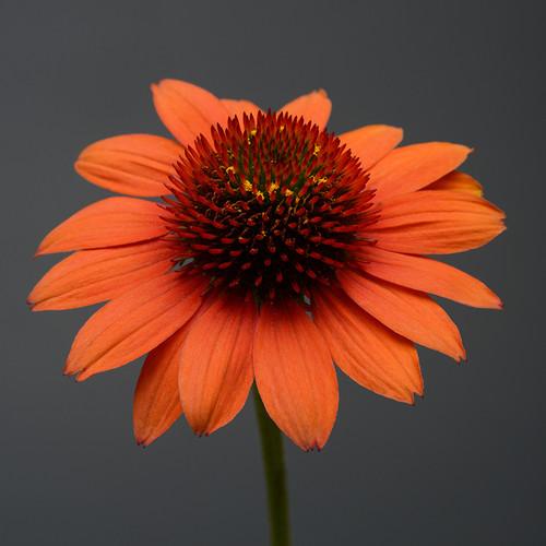 Sombrero® Flamenco Orange Coneflower Close Up