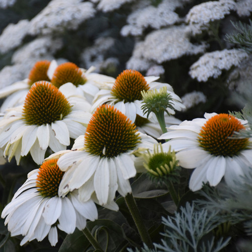 Color Coded™ The Price is White Coneflower Plants Blooming Close Up