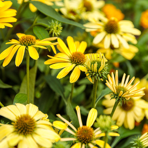 Color Coded™ Yellow My Darling Coneflower Blooms in the Sunlight