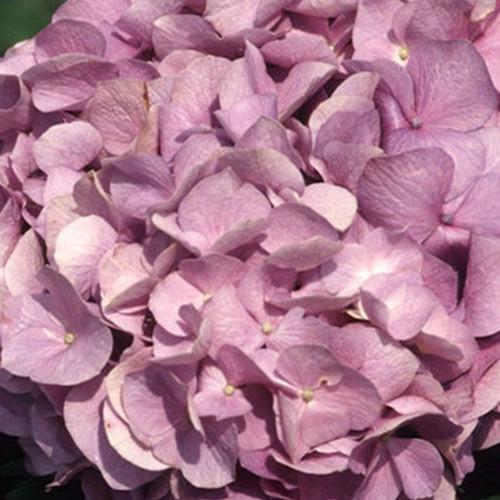 Glory Blue Hydrangea Bloom Cropped