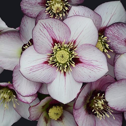 Honeymoon® French Kiss Lenten Rose Flower Close up