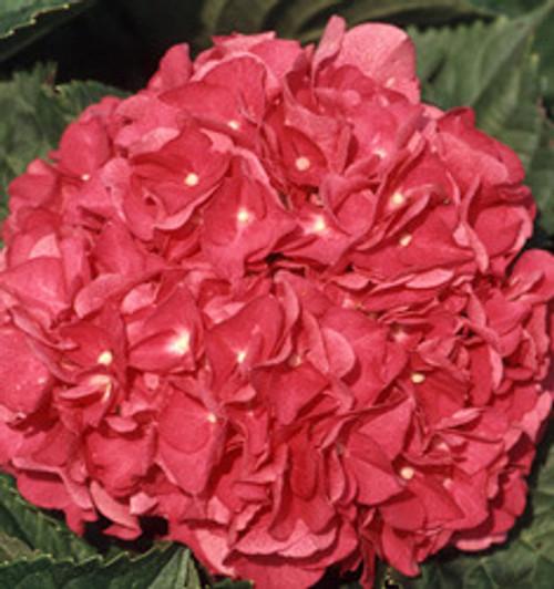 Merritts Supreme Pink Hydrangea
