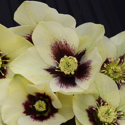 Honeymoon® Spanish Flare Lenten Rose Flowers