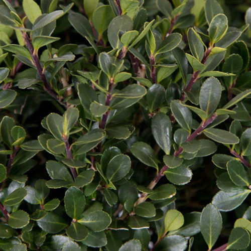 Compact Japanese Holly Leaves Up Close Cropped