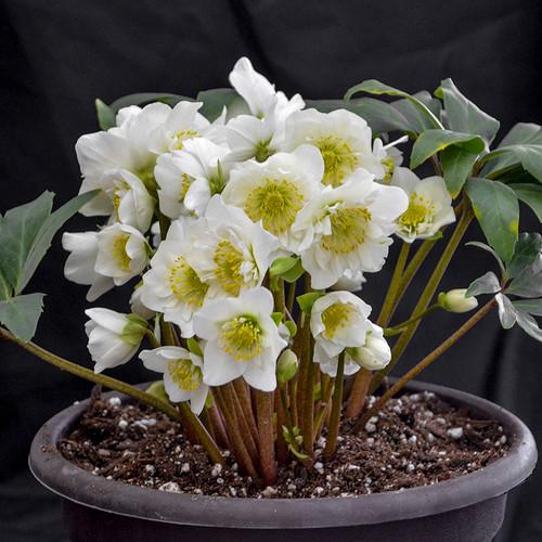 Snowbells Christmas Rose in a flower pot
