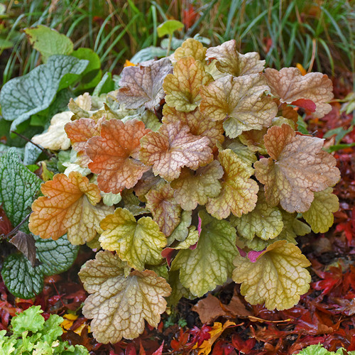 Dolce® Toffee Tart Coral Bells red and brown foliage