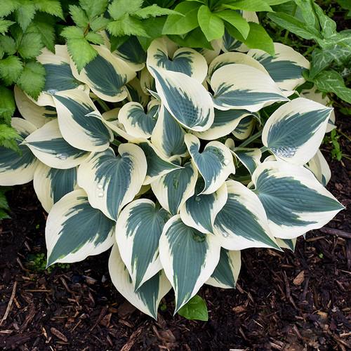 Blue Ivory Hosta Plant in the shade garden