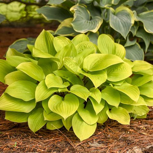 Fire Island Hosta Green Foliage