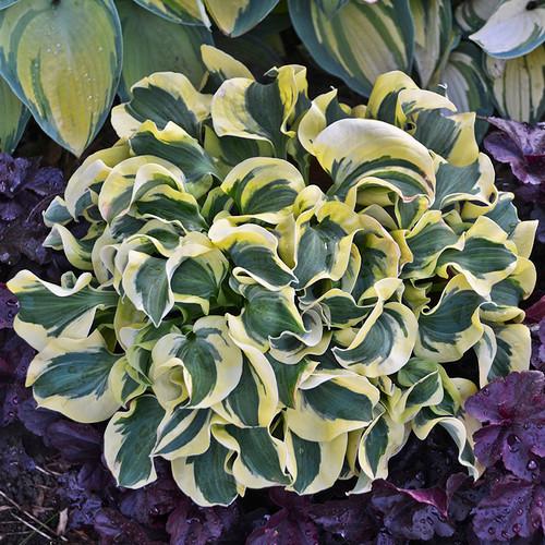 Mini Skirt Hosta Plant in the shade garden
