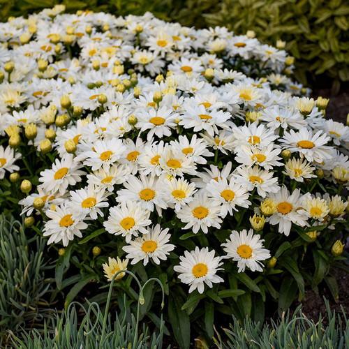 Spoonful of Sugar Shasta Daisy Plant Blooming
