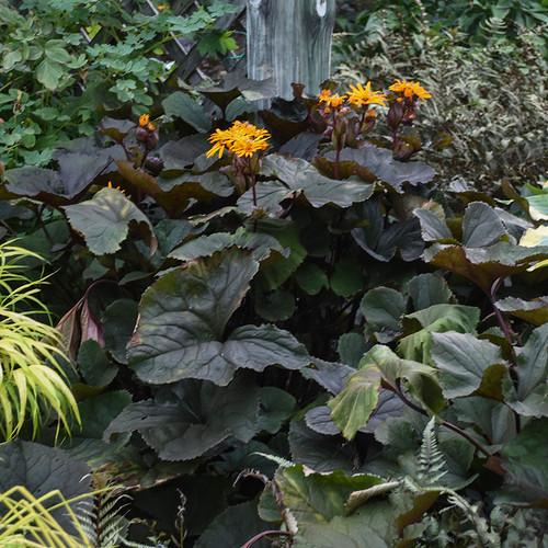 Britt Marie Crawford Leopard Plant Flowers and foliage