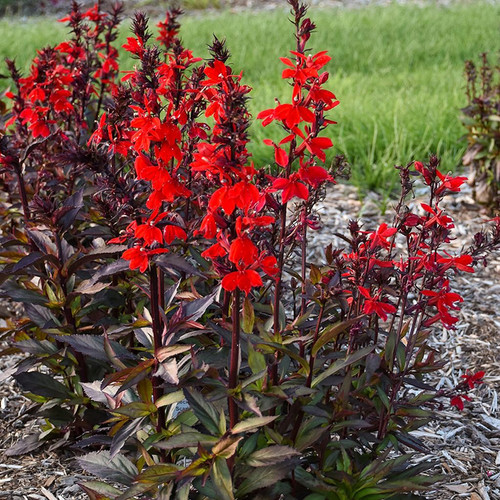 Starship Scarlet Bronze Leaf™ Cardinal Flower  foliage