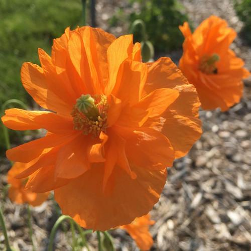 Double Tangerine Gem Spanish Poppy Flower in the sunlight
