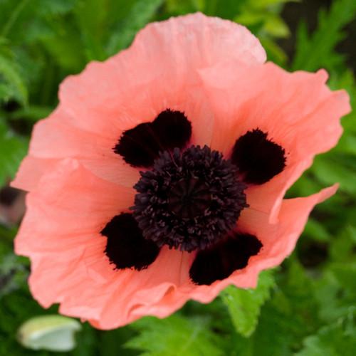 Queen Alexandra Oriental Poppy Pink Flower Close Up