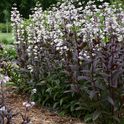 Row of Onyx and Pearls Beardtongue Plants in the Garden