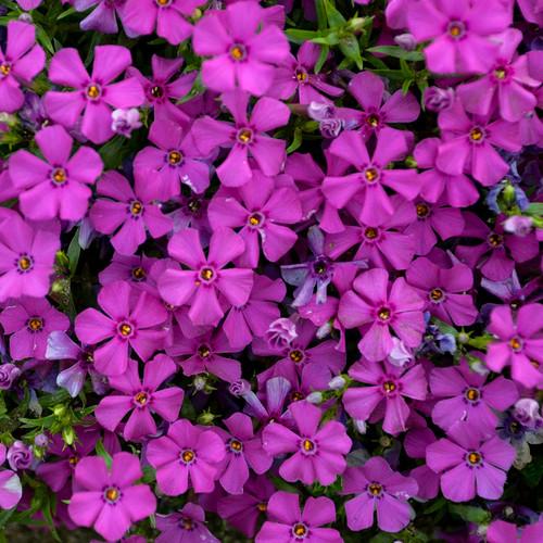 Mountainside Majestic Magenta Phlox Flowers Close Up