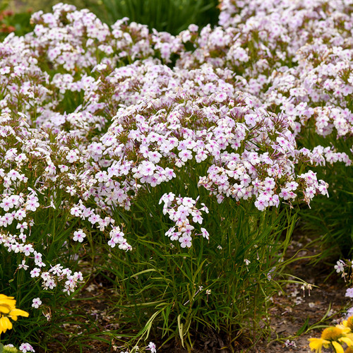 Opening Act Pink-a-Dot Phlox Plants Mass Planted Blooming in the Garden