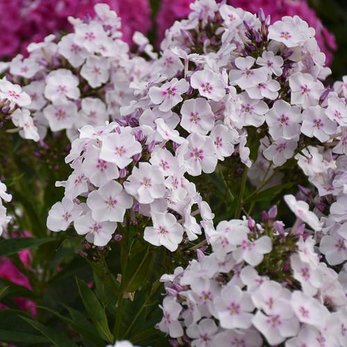 Garden Girls Party Girl Phlox Plants Flowering