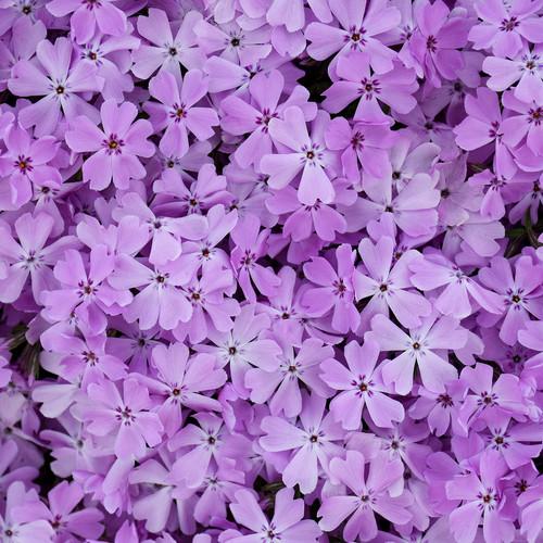 Spring Bling Pink Sparkles Phlox Flower Petals