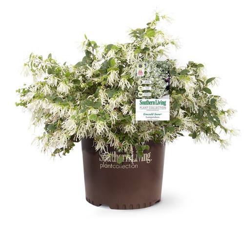 Emerald Snow Loropetalum Cropped