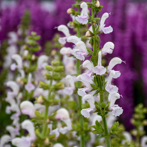 Color Spires® Snow Kiss Salvia Flowers and Foliage Close Up